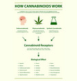 how cannabinoids work vertical infographic vector image vector image