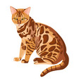 bengal cat isolated on white selective breeding vector image