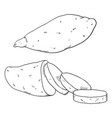 sketch sweet popato yam vector image vector image