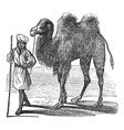 Bactrian camel vintage vector image vector image