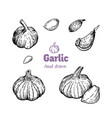 garlic bulbs and cloves hand drawn vector image