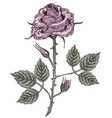 engraved rose color vector image