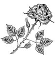 rose flower engraving vector image