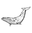 whale animal engraving vector image