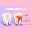 tooth anatomy infographics realistic 3d vector image