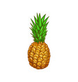 exotic pineapple isolate ananas whole fruit sketch