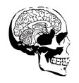 skull and brain vector image