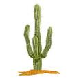 saguaro cactus vector image