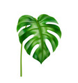 curved monstera leaf tropical foliage decoration vector image