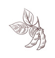 drawing soybeans vector image vector image