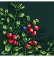 Bush cowberry vector image vector image