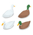 isometric a duck and a drake on a vector image vector image