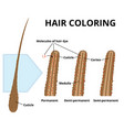 cuticle of hair close-up vector image vector image