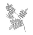 drawing branch rowan tree with leaves