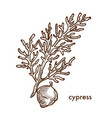 cypress branch of plant with leaves and berries vector image