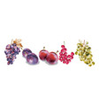grapes and plums watercolor autumn fall harvest vector image vector image