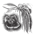 Chestnut vintage engraving vector image vector image