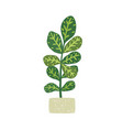 codiaeum variegatum houseplant with potted vector image
