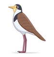 masked lapwing bird on a white background vector image vector image