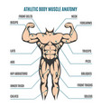 athletic body man figure muscular anatomy vector image vector image