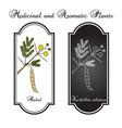 babul vachellia nilotica or thorny acacia vector image