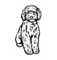labradoodle dog sitting pose- isolated vector image vector image