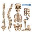 human skeleton structure skull spine rib cage vector image vector image