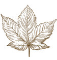 engraving of maple leaf vector image vector image