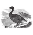 common brant vintage vector image vector image
