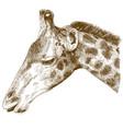 engraving of giraffe head vector image
