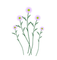 Violet Daisy Blossoms on A White Background vector image vector image