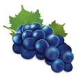 blue grapes bunch vector image vector image