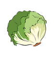 hand drawn green lettuce vector image vector image