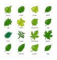 leaf green leaves of trees leafed oak and vector image