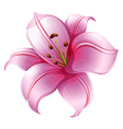 A pink lily flower vector image vector image