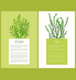 rosemary and thyme herbs template cards vector image