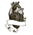 Human anatomical heart vector image vector image