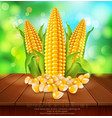 background with grains and cobs of corn on a vector image vector image