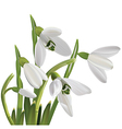 Spring snowdrop flowers bouquet isolated on white vector image vector image
