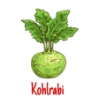 Kohlrabi vegetable with green leaves sketch vector image vector image