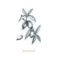 botanical of almond branch seed vector image