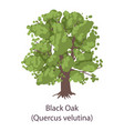 black oak icon flat style vector image vector image