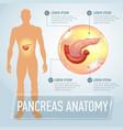 pancreas infographics banner vector image