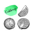 ink sketch cabbage vector image vector image