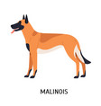 malinois or mechelse herder cute funny purebred vector image vector image