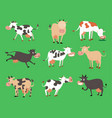 milk cow bull with calf buffalo different vector image