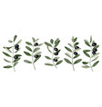 olive branch set vector image