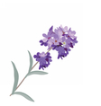 Lavender flower in watercolor paint style vector image vector image