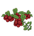 cranberry bush isolated object on a white vector image vector image
