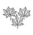 maple leaves sketch vector image